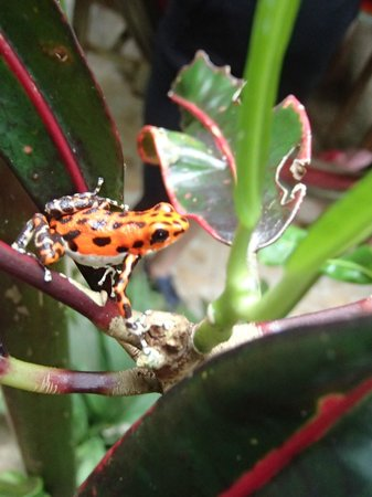 Red Frog Bungalows: Strawberry poison-dart frog (Dendrobates pumilio)