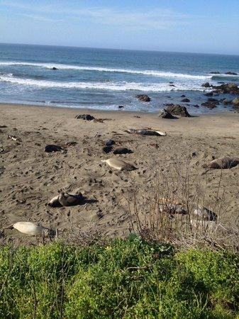 Piedras Blancas: Elephant Seals Chillin