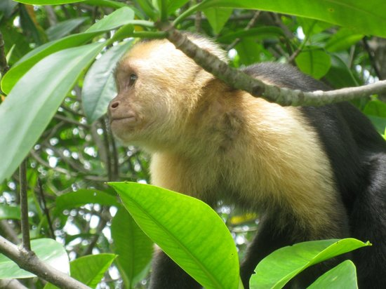 Corcovado Adventures Tent Camp : Capuchin monkey