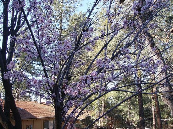 Pine Woods Resort: The beautiful Oriental maple trees there