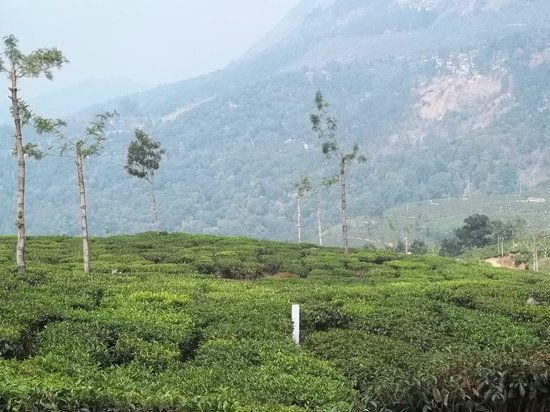 Deshadan Mountain Resorts: tea gardens