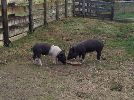 Doolan's Country Retreat : Feeding the pigs