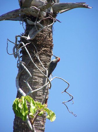 Randell Research Center: Red bellied Woodpecker on the nature trail