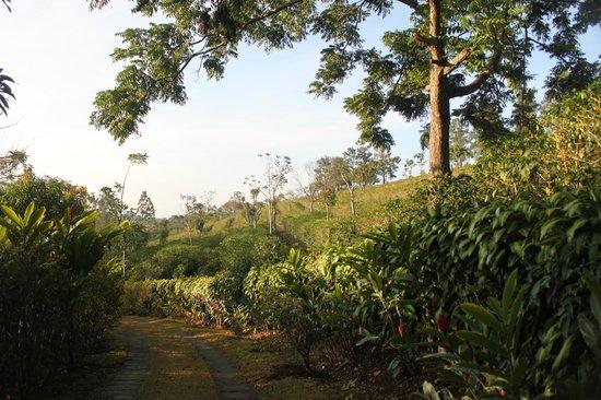 Siempreverde B&B: coffee plants on property