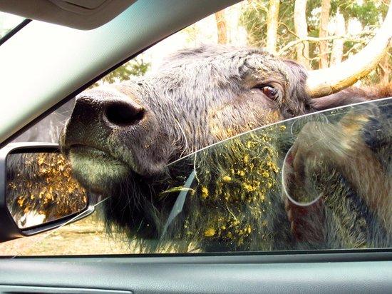 Harmony Park Safari: Buffalo
