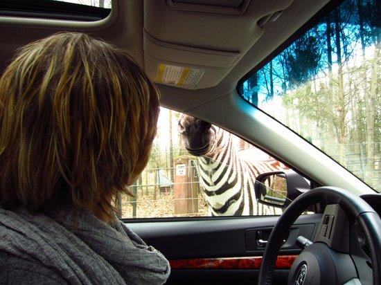 Harmony Park Safari : Zebra
