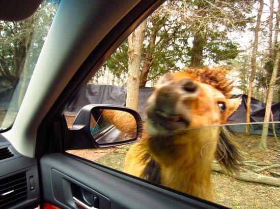 Harmony Park Safari : Miniature horse