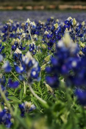 La Quinta Inn & Suites Marble Falls: Texas Bluebonnets between Marble Falls and Johnson City