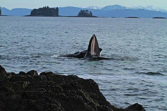 بلاك نير إن: A Humpback Whale off the beach by the Black Bear Inn