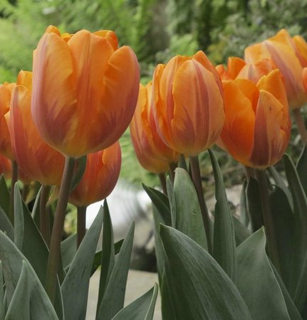 Highland Botanical Park and Lamberton Conservatory : Tulips in Seasonal Display