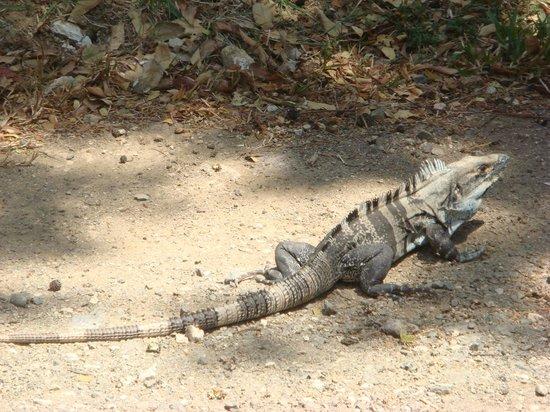The Breeze: Lots of iguanas