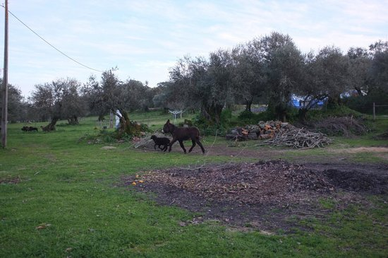 Monte do Serrado de Baixo: the donkey thinks she is a sheep