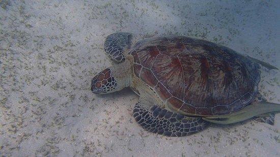 Marsa Shoona Bay: tartaruga