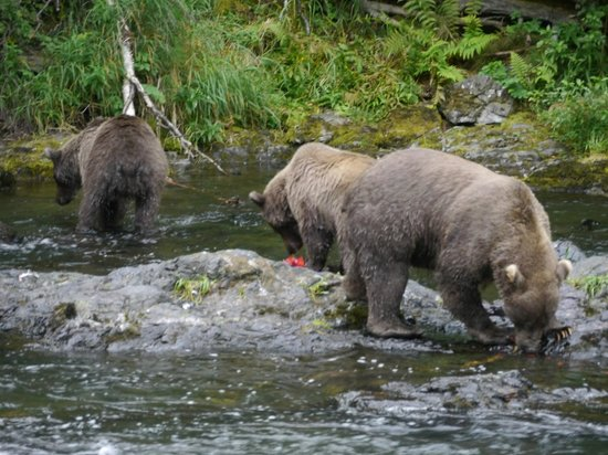 Gwin's Lodge and Restaurant: Brown bears fishing for salmon at Russian River Falls