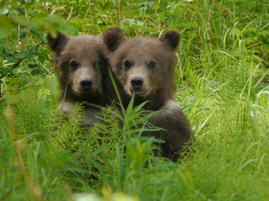 Gwin's Lodge and Restaurant: Bear cubs visiting Gwin's Lodge