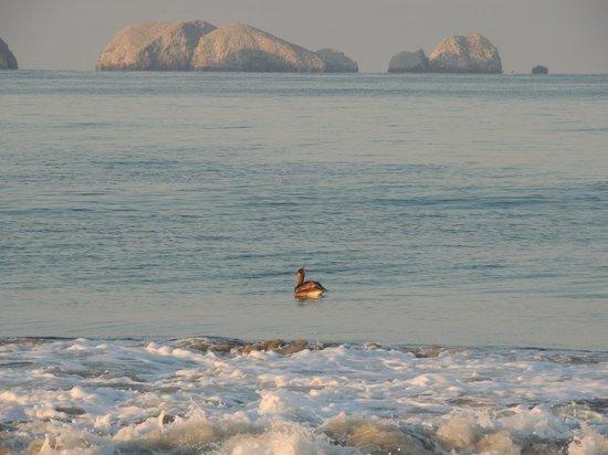 Playa Blanca: pélican noir en embuscade
