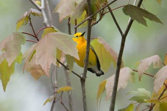 Wakulla Springs Lodge : Prothonotary Warbler spotted on boat ride.