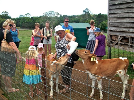 Maleny Dairies: feeding the calfs