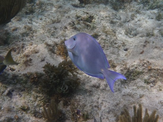 The Retreat at Rum Point: Blue Tang - just walk out from Retreat
