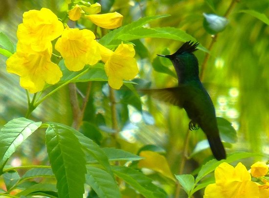 East Winds Inn: Antillean Crested Hummingbird feeding on yellow elder flowers