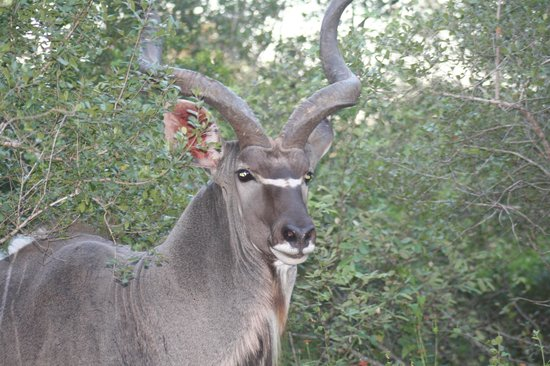 Jackalberry Ridge: Magnificent Kudu