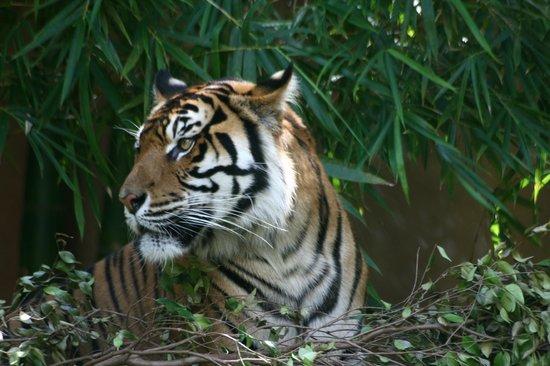 Australia Zoo: Resting Tiger !!!