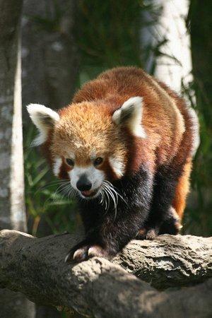 Australia Zoo: Red Panda