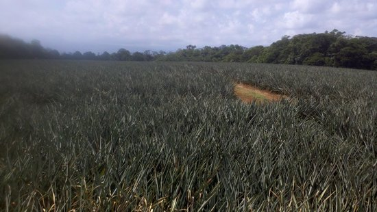 Finca Corsicana Pineapple Farm: Where they grow