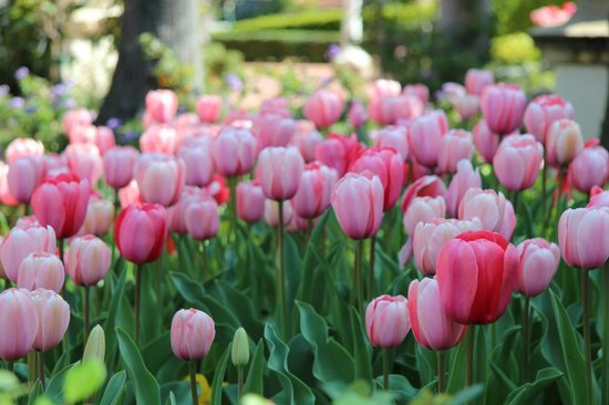 Hearst Castle: Tulips