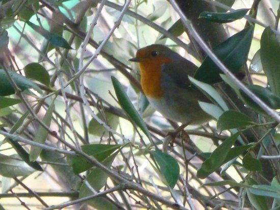 Casarufolo Paradise: European robin, one of many nice birds around the grounds