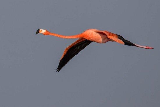 Celestun, Mexico: flamingo