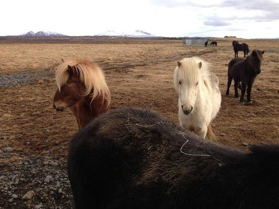 Ishestar Horse Riding Day Tours: Icelandic Horses