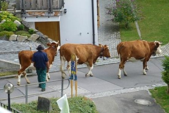 Restaurant Baren: Lots of cows with bells, walking past our hotel!