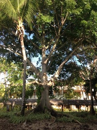 Catalonia Bavaro Beach, Casino & Golf Resort: l'arbre face a notre chambre
