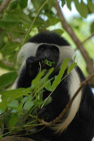 Selous Mbega Camp : Mbega monkeys invade the grounds of the main camp