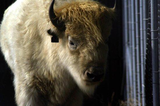 Irvine Park : American Bison