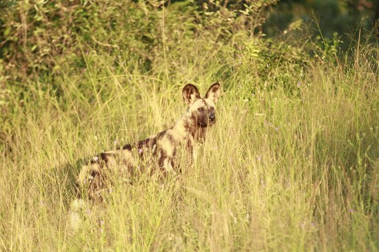andBeyond Ngala Safari Lodge: African Wild Dog