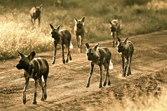 andBeyond Ngala Safari Lodge: African Wild Dog pack of 9