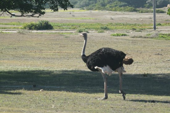 Fig Tree: ostrich walking past at breakfast