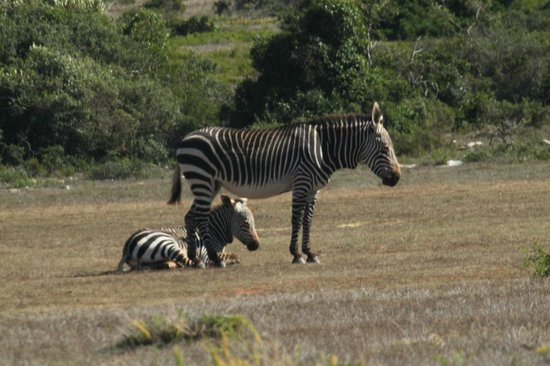 Fig Tree: Zebra for company at breakfast