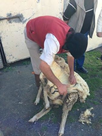 Estancia Nibepo Aike: traditional sheep shearing demonstration