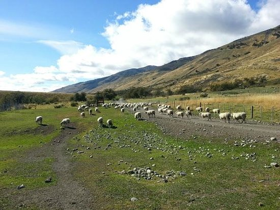 Estancia Nibepo Aike: sheep grazing