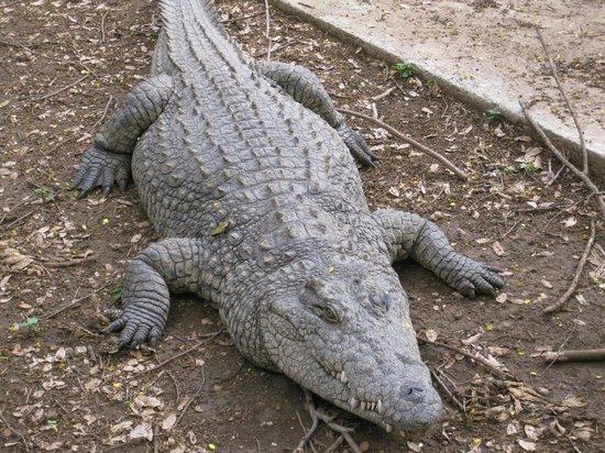 Meserani Snake Park : Closest I'll ever get to a crocodile!