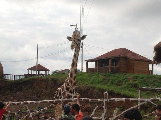 Santa Cruz de Yojoa, Honduras: jirafa bella