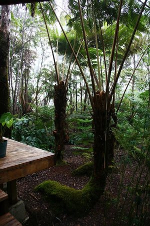 At the Craters Edge: Tree Ferns