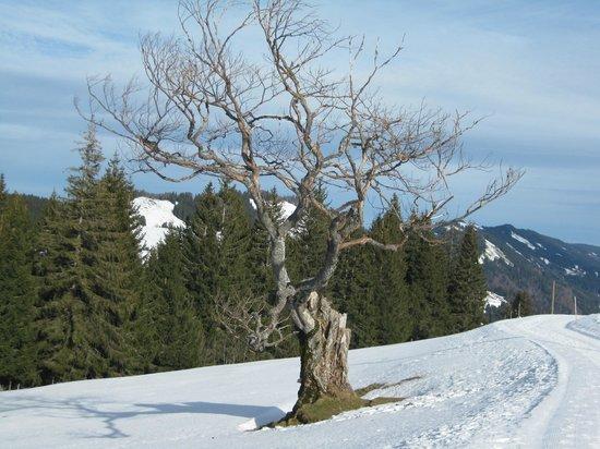 Almhotel Hochhaderich: schöner alter Baum auf dem Spazierweg