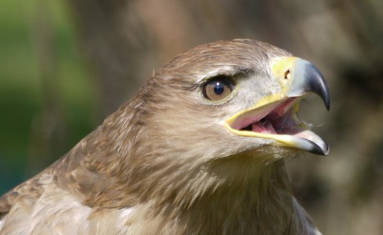 The International Centre for Birds of Prey: Bird of Prey Centre Newent