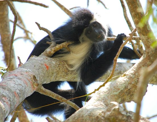 Diani Blue: Friendly Colobus Monkey...