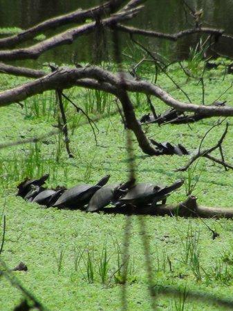 Pacaya Samiria Amazon Lodge: Turtles