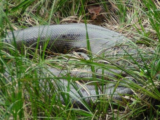 Pacaya Samiria Amazon Lodge: Anaconda_14